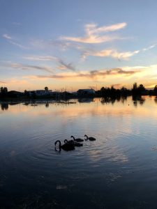 swans at sunset 50%